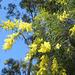 wattle tree .. a song below ↓