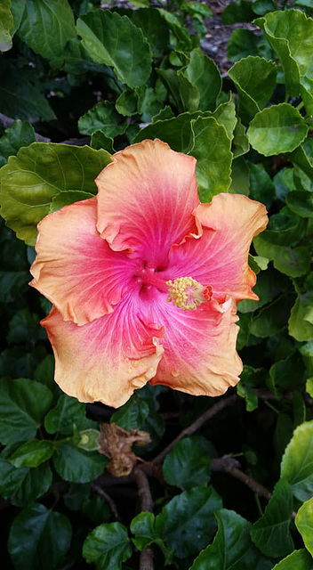 hibiscus sunday