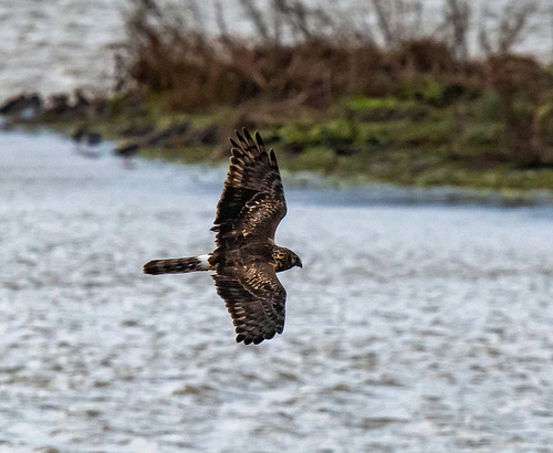 Ring tail hen harrier