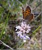 Lycaena phlaeas mâle.
