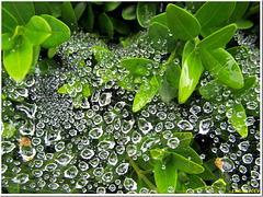 Raindrops? No, water pearls...