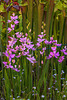 Calopogon tuberosus (Common Grass-pink orchid)