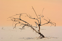 Namibia, A Dead Tree at the Foot of the Dune