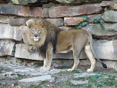 Lion at Fort Worth Zoo