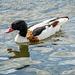 Shellduck In breeding plumage