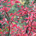 Saskatoon (?) leaves in the fall