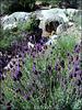 Wild lavender and mountain stream