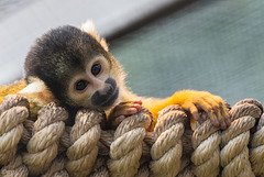Totenkopfäffchen/ Squirrel Monkey
