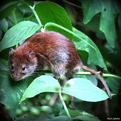 Petite souris de forêt, une rencontre qui fait battre les coeurs....mais des deux
