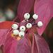 Red Osier Dogwood / Cornus sericea