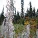 Epilobium hirsutum, Canada L1010645