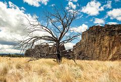 Tree near Smith Rock