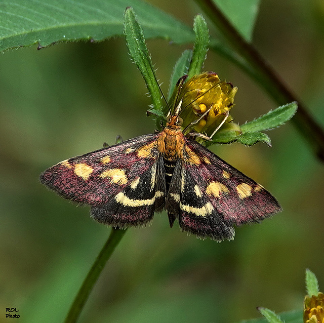 Très très mimi.. 6...8 mm ailes fermées une espèce de petite mite