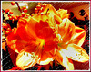 Amaryllis in orange... ©UdoSm
