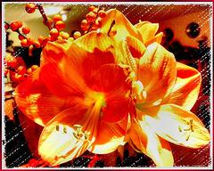 Amaryllis in orange... ©UdoSm