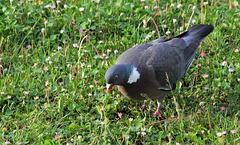 Visiteur du matin - Pigeon ramier
