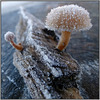 Iced fungi