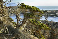 Monterey Cypress Trees – Point Lobos State Natural Reserve, California