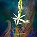 Phalangère à fleur de lis