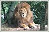 Le Roi Lion ! Hakuna matata ........Bonne soirée !