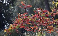 L'automne du sumac