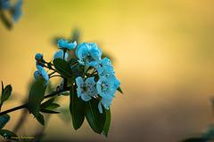 Blüten am Birnenbaum