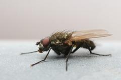Explored - Fliege