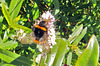 Large Bumble on Hebe.