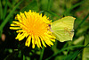 Zitronenfalter nascht an Löwenzahnblüten - A common brimstone is nibbling on dandelion blossoms