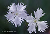 Dianthus Monspessulanus  026 copy