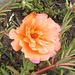 Fleur de plante grasse / Succulent flower