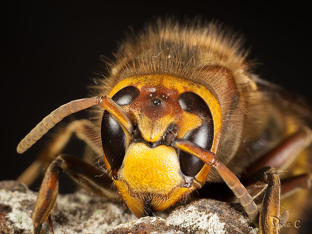 Study Of A Hornet - Face On