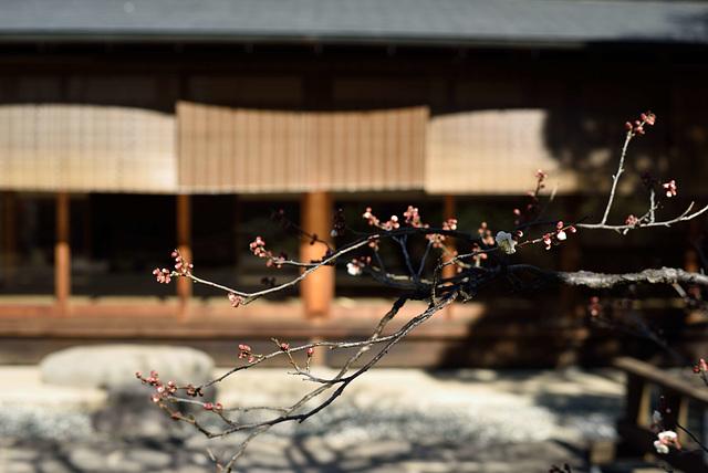 Prunus mume_6