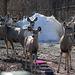 Mule Deer in our yard