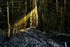 Ein Lichtstrahl im winterlichen Fichtenforst - A ray of light in a winter spruce forest