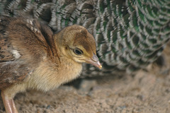 young Peafowl
