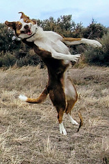 The flying clown-dog