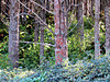 Pine Trunks and Undergrowth