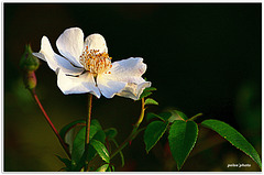 Flor abierta