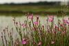 Rose evening primrose