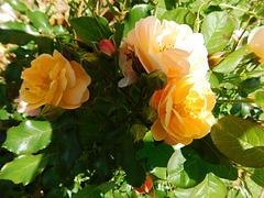 Roses de l'été...