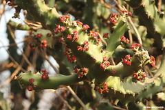 20190329-2017 Euphorbia neriifolia L.
