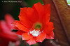 Red Cactus Flower  Epiphyllum ackermannii  129 copy