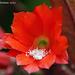 Red Cactus Flower  Epiphyllum ackermannii  129 copy