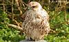 Saker falcon Female (Falco cherrug) Explore 127 copy