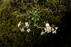 Arabidopsis petraea, Meláblom