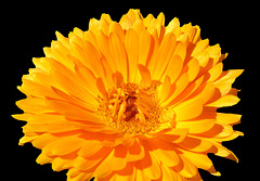Marigold by My Lovely Wife