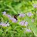 Clear-Winged Hummingbird Moth (Hemaris Thysbe)