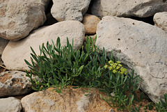 fleurs des  pierres