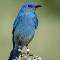 Bluebird bling